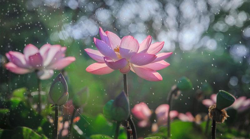 Dạy làm hoa giấy-hoa senbằng giấy nhún