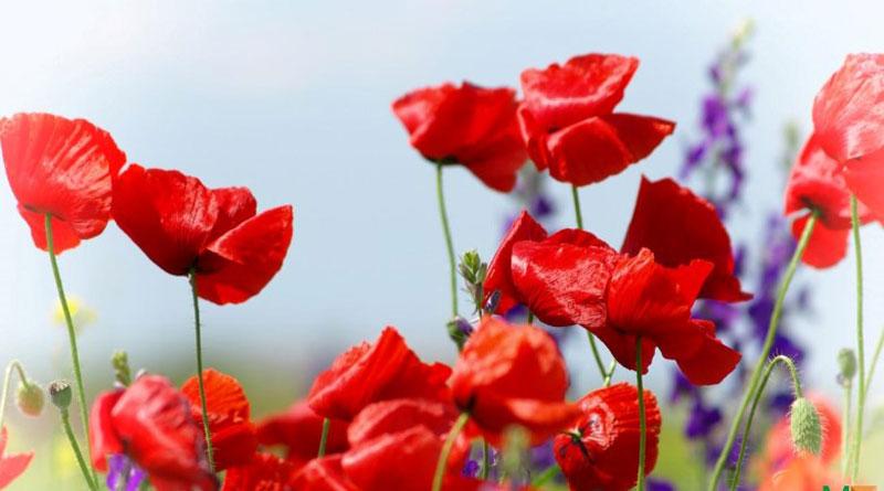 Cách làm bó hoa poppy giấy cho nàng